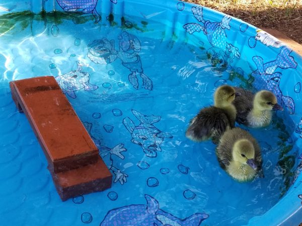 Geese go for a swim